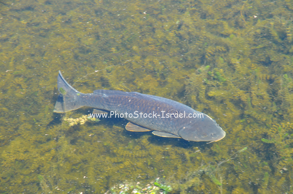 Clarias gariepinus or African sharptooth catfish is a species of catfish of the family Clariidae, the airbreathing catfishes. Photographed in Israel in the Agamon Lake at the Hula Valley in March