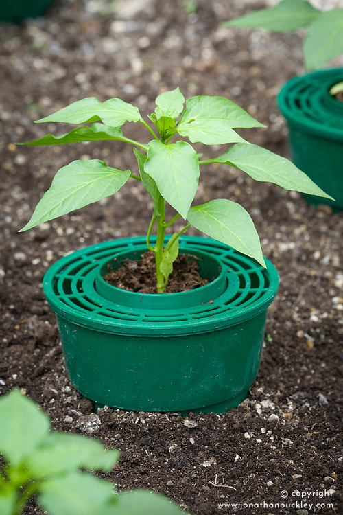 Chillies planted in ring culture pot