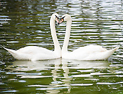 Two White Swans (Cygnus olor) head to head forming a heart shape.
