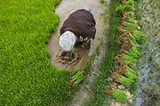 Rice planting<br /> Local argiculture<br /> Eastern Madagascar<br /> MADAGASCAR