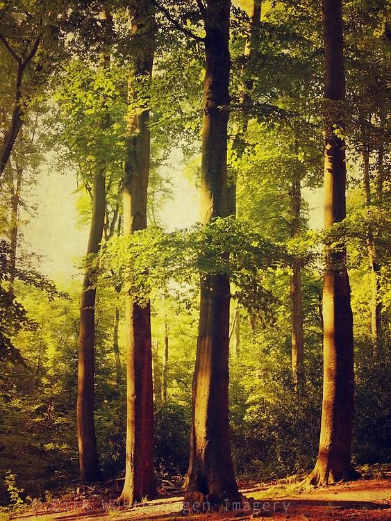 beech trees in evening light