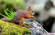 Eurasian red squirrel (Sciurus vulgaris) in a Norwegian forest.