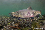 male chum salmon, dog salmon, silverbrite salmon, or keta salmon, Oncorhynchus keta, in spawning stream, Bear Trap, Port Gravina, Alaska ( Prince William Sound )