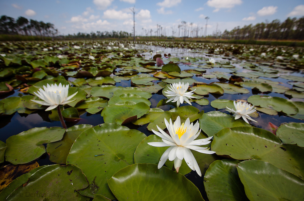 American Water Lillies in Bayou Lacombe