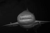 Lemon Shark, coming at ya', B/W