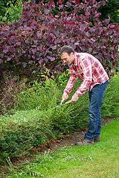 Clipping an evergreen hedge using hand shears. Lonicera nitida syn. Lonicera ligustrina var. yunnanensis. Wilson's honeysuckle.