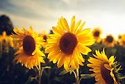 France, Provence, Sunflower field near Arles