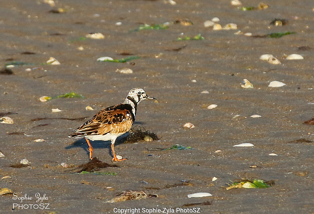 Ruddy Turnstone checking me out