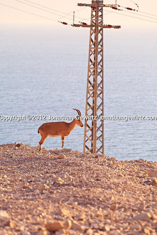 A Nubian ibex (Capra nubiana) stands in front of an electric transmission tower overlooking the Dead Sea near the Ein Gedi Field School. WATERMARKS WILL NOT APPEAR ON PRINTS OR LICENSED IMAGES.