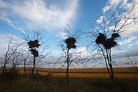 Red-footed Falcon's breeding colony, Bagerova Steppe, Kerch Peninsula, Crimea, Ukraine