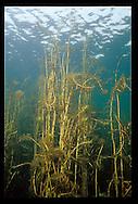 Eurasian Water Milfoil<br /> <br /> ENGBRETSON UNDERWATER PHOTO