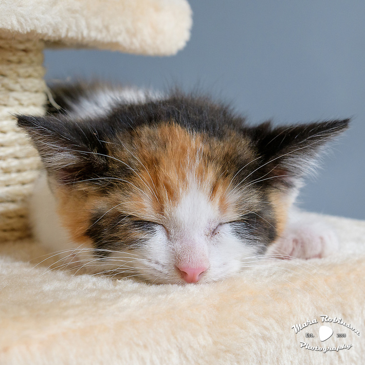 Cute calico kitten on a beige cat condo scratching post perch. Sloan of cat instagram f Lennox and Sloan, Two Lucjy Rescue Cats. Photo by Akron Pet Photographer Mara Robinson