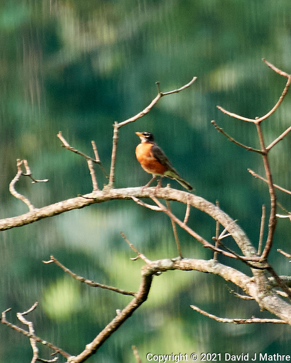 American Robin. Image taken with a Nikon D5 camera and 200-500 mm f/5.6 VR lens.
