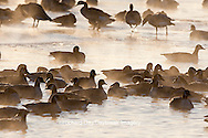 00748-05413 Canada Geese (Branta canadensis) flock on frozen lake at sunrise, Marion Co, IL