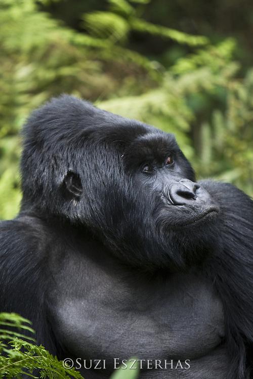 Mountain Gorilla<br /> Gorilla gorilla berengei<br /> Silverback<br /> Virunga Volcanoes National Park, Rwanda<br /> *Endangered Species