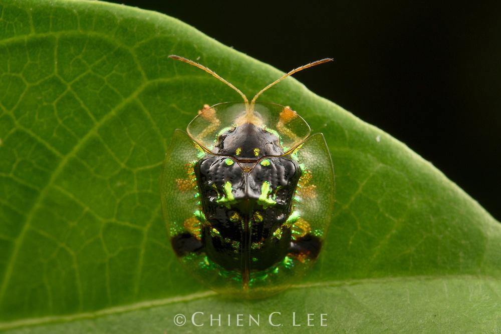 Tortoise Beetle (Thlaspidosoma dohrni). Kinabalu National Park, Sabah, Malaysia (Borneo).
