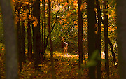 A deer blends into the golden lit forest along Blakeslee Hill Road in Danby, NY, Tuesday, October 13, 2015.<br /> (Heather Ainsworth for The Syracuse Post-Standard)
