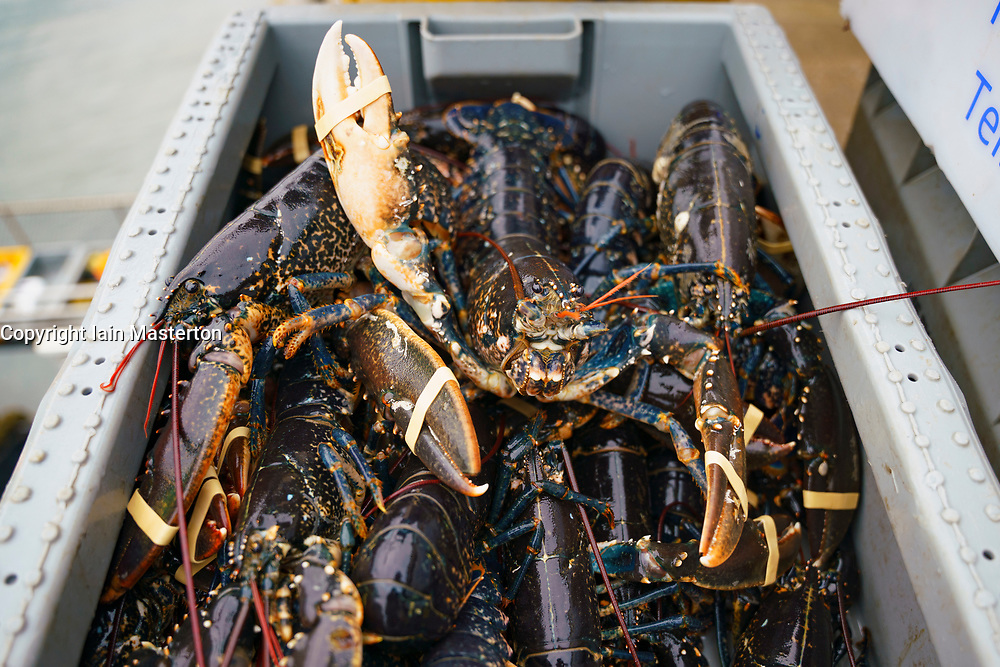 Pittenweem, Scotland, UK. 15 January 2020. Fresh shellfish, crab and lobster landed this morning at Pittenweem harbour in Fife. Fisherman Nick Irvine has two boats that catches shellfish, shrimp, velvet crab, brown crab and lobster. Much of his catch is exported to Asia and is busy at this time of the year because of upcoming Chinese New Year which increases demand and prices. This has helped to offset problems exporting into the EU because of new regulations.  Pic; box of lobsters.  Iain Masterton/Alamy Live News