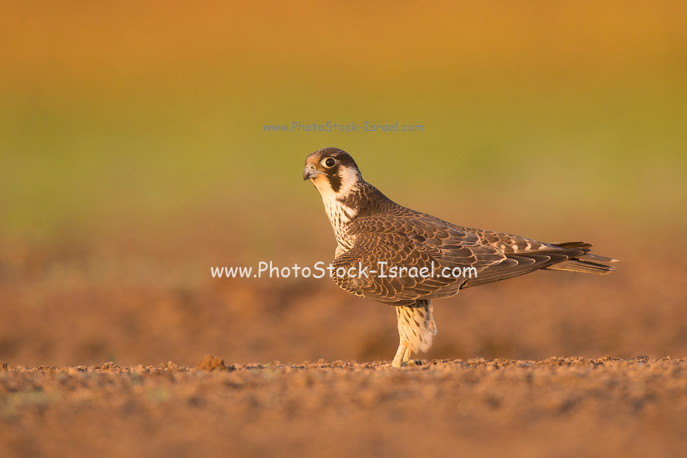 Peregrine falcon. (Falco peregrinus). Juveniles remain dependent on their parents for several months after leaving the nest. This bird is found on all continents except Antarctica. It inhabits open areas such as marshes, fields and coastal areas. The peregrine mostly preys on birds in flight, but also occasionally hunts small mammals and reptiles. It catches birds by diving at speeds of up to 200 kilometres per hour and striking them with its talons, it then swoops back up to catch the falling bird.