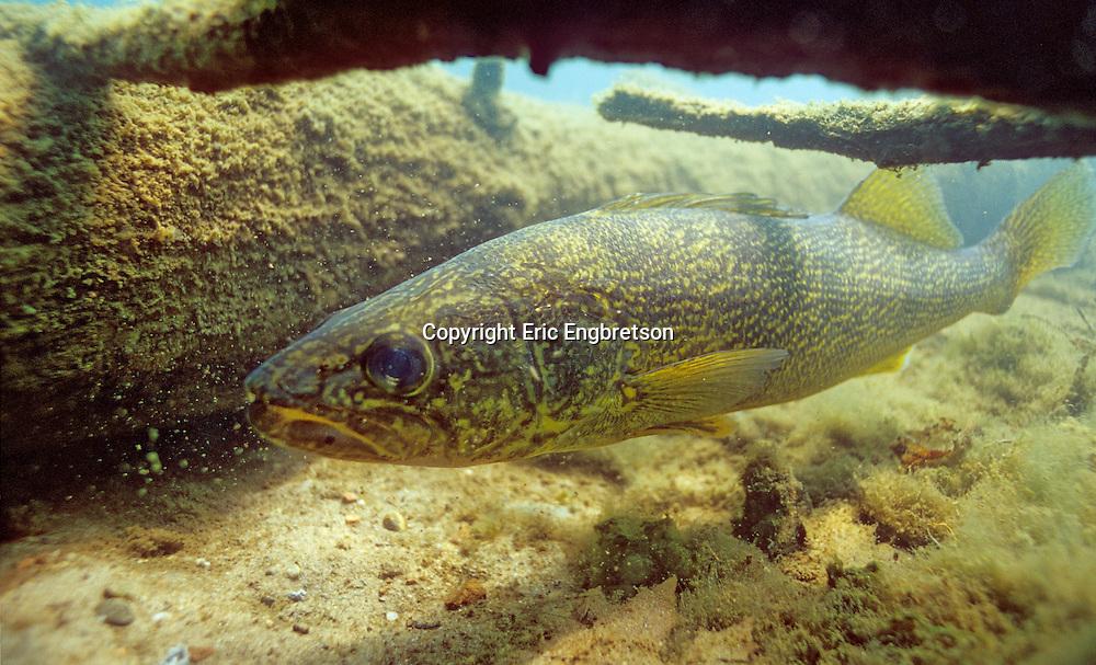 Walleye<br /> <br /> ENGBRETSON UNDERWATER PHOTO