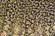 Close-up abstract of the body pattern and texture of a North African spiny-tailed lizard (Uromastyx acanthinura) at Animal Investigations Long Sutton Lincolnshire