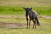 Blue Wildebeest (Connochaetes taurinus), Ngorongoro Conservation Area, Serengeti, Tanzania.