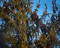 Turkey Vultures in a Neighbors Tree. Image taken with a Fuji X-T1 camera and 100-400 mm OIS telephoto zoom lens (ISO 200, 400 mm, f/5.6, 1/90 sec).