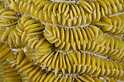 Maze Coral (Meandrina meandrites)<br /> BONAIRE, Netherlands Antilles, Caribbean<br /> HABITAT & DISTRIBUTION: Shallow & mid-range coral reefs, walls and rocky areas. <br /> Florida, Bahamas & Caribbean.
