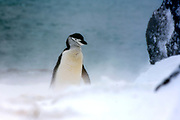 Snowy Chinstrap Penguin (Pygoscelis antarcticus) on Penguin Island, South Shetland Islands, Antartctica