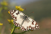 Marble White (Melanargia titea titania)