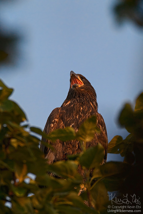 A juvenile bald eagle (Haliaeetus leucocephalus) that is about three months old calls out to its sibling from its perch in a tree.