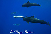bottlenose dolphins, Tursiops truncatus, interacting with short-finned pilot whales, Globicephala macrorhynchus, north Kona Coast, Hawaii, U.S.A. ( Central Pacific Ocean ); female bottlenose dolphin swimming upside down at center of frame is soliciting attention from male pilot whale at center right