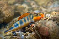 Gilt Darter<br /> <br /> Isaac Szabo/Engbretson Underwater Photography