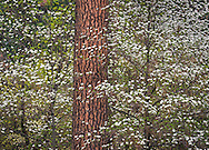 Dogwood flowers in bloom in forest, Yosemite Valley, Yosemite National Park, California