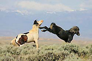 Wild horse or mustang in the American West