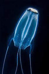 winged box jellyfish, Alatina alata, highly venomous, bioluminescent, offshore at night, Kona Coast, Big Island, Hawaii, USA, Pacific Ocean