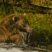 North America, United States, West, Northwest, Pacific Northwest, Alaska, Katmai, Katmai National Park, Katmai NP, Brooks, river, Brooks Riber. Grizzly bear, brown bear fishing for salmon in the Brooks River, Katmai National Park, Alaska.