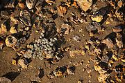 colorful volcanic rocks with a small plant (Chamaesyce amplexicaulis) in the arid soil of Bartolome island, Galapagos Archipelago - Ecuador.