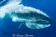Bryde's whale, Balaenoptera brydei or Balaenoptera edeni, expels air and water from mouth through baleen plates after engulfing part of a baitball of sardines, Sardinops sagax, off Baja California, Mexico ( Eastern Pacific Ocean )