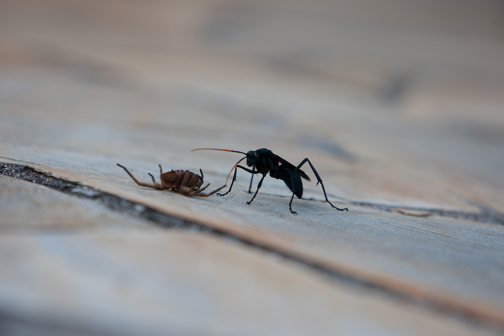 Itupeva_SP, Brasil..Vespa da familia parasitoide depositando veneno para paralisar a aranha e depositar a larva no seu abdomem...A parasitic wasp is depositing poison to paralyze the spider and deposit the larvae on Its abdomen...Foto: MARCUS DESIMONI / NITRO