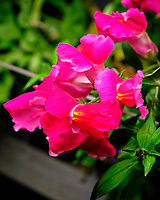 AeroGarden Farm 01-Right. Snapdragon Flowers. Image taken with a Fuji X-T3 camera and 80 mm f/2.8 macro lens (ISO 160, 80 mm, f/8, 1/60 sec).