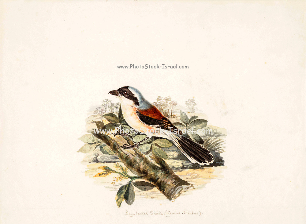 Bay-backed shrike (Lanius vittatus) 18th century watercolor painting by Elizabeth Gwillim. Lady Elizabeth Symonds Gwillim (21 April 1763 – 21 December 1807) was an artist married to Sir Henry Gwillim, Puisne Judge at the Madras high court until 1808. Lady Gwillim painted a series of about 200 watercolours of Indian birds. Produced about 20 years before John James Audubon, her work has been acclaimed for its accuracy and natural postures as they were drawn from observations of the birds in life. She also painted fishes and flowers.