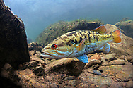 Redeye Bass<br /> <br /> Isaac Szabo/Engbretson Underwater Photography