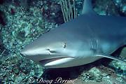 Caribbean reef shark, Carcharhinus perezi, resting on the bottom, Walker's Cay, Abaco Islands, Bahamas ( Western Atlantic Ocean )