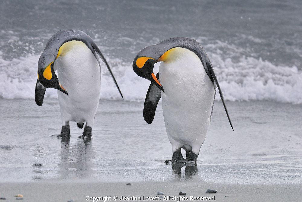 King Penguins return to land stop to preen in unison.