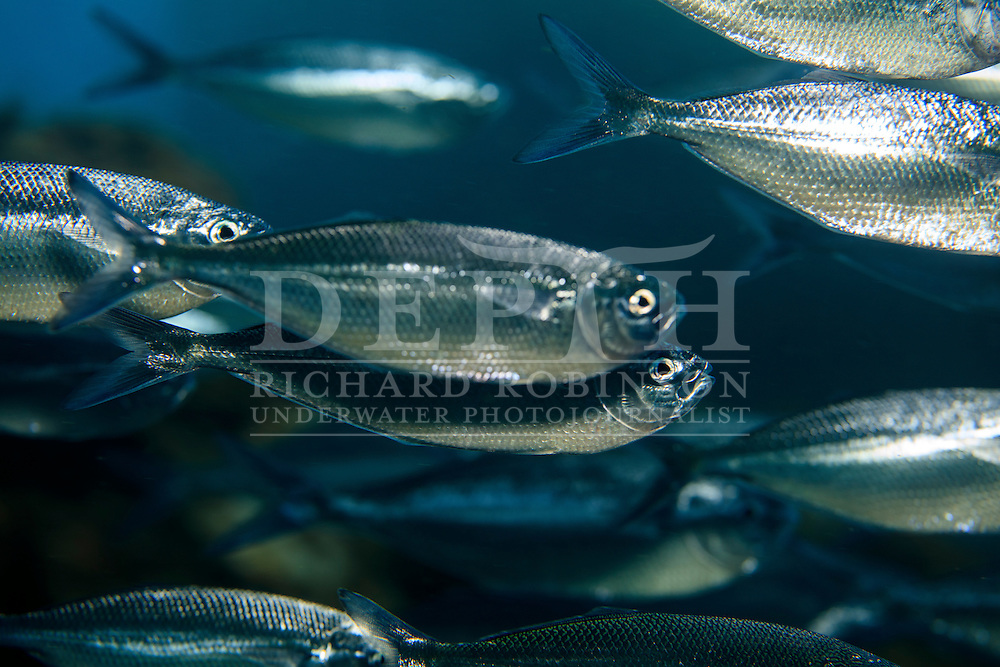 Bathystethus cultratus (Grey knifefish).<br /> Sunday 04 October 2015.<br /> Photograph Richard Robinson © 2015<br /> Dive Number: 760.<br /> Site: North Meyer Island, Raoul Island, Kermadec Islands, New Zealand.<br /> Dive Buddy: Steve Hathaway.<br /> Boat: Braveheart.<br /> Temperature: 19 degrees.<br /> Maximum Depth: 17.5 meters.<br /> Bottom Time: 78 minutes.<br /> Bottom Time to Date: 42,372 minutes.<br /> Cumulative Time: 42,450 minutes.