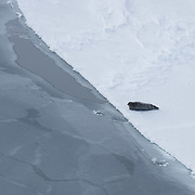 Bearded seal (Erignathus barbatus)  hauled out at the edge of a lead on the Beaufort Sea ice pack. Alaska