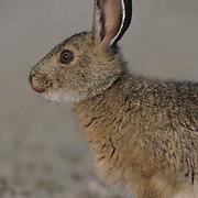 Snowshoe Hare (Lepus americanus).  Summer.  Alaska.