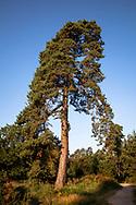 pine tree in the Wahner Heath on Fliegenberg hill, Troisdorf, North Rhine-Westphalia, Germany.<br /> <br /> Kiefer in der Wahner Heide am Fliegenberg, Troisdorf, Nordrhein-Westfalen, Deutschland.