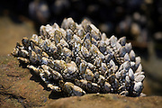Gooseneck barnacles (Pollicipes polymerus) grow on a rock in the mid intertidal zone of Laguna Beach, California. They are valued as a culinary delicacy, especially along the coast of the Mediterranean.